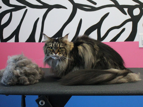 Maine Coon cat after grooming