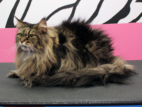 Maine Coon cat before grooming