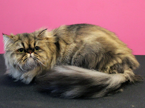 Persian cat after grooming