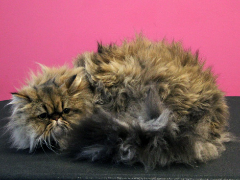 Persian cat before grooming