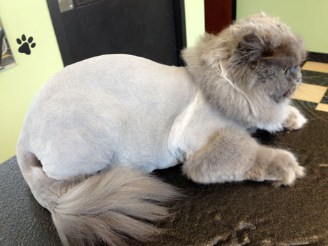 Ozzie, Grey Persian cat, after grooming in a lion trim