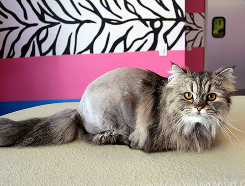 Maine Coon after grooming in a lion trim