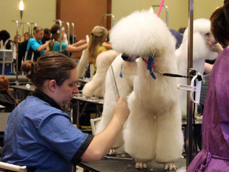 Poodle trim with Jezebel