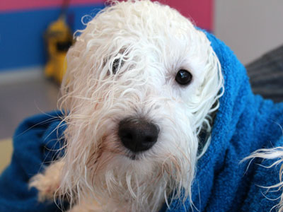 Coton de tulear getting bathed