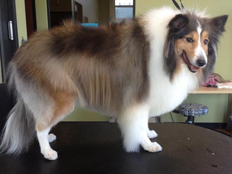 Comb out and neaten after using a shetland sheepdog