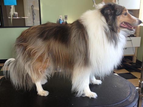 Comb out and neaten before using a shetland sheepdog