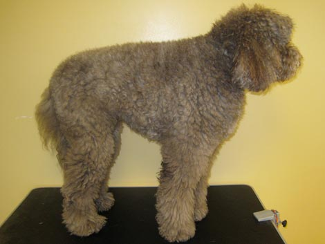 Full hair cut before using an Australian Labradoodle