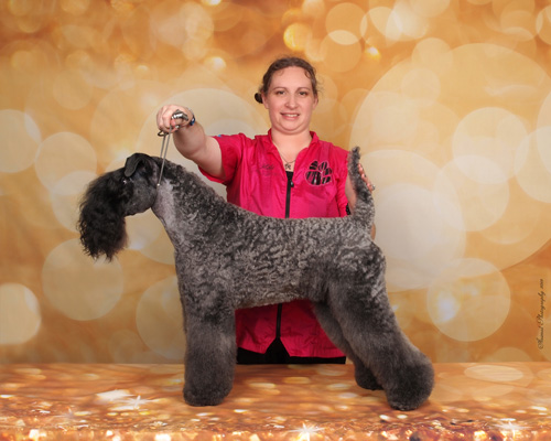Full hair cut after using a Kerry Blue Terrier