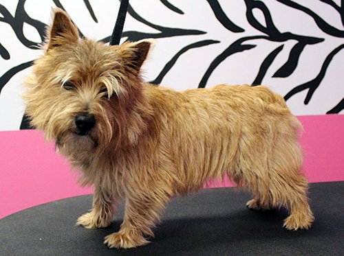 Full hair cut before using a Norwich Terrier