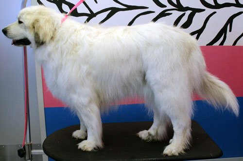 Bath and brush out after using a great pyrenees