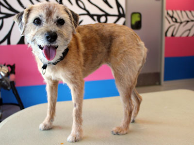Border Terrier after hand stripping; rolled coat example