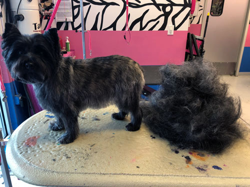 Cairn Terrier after hand stripping